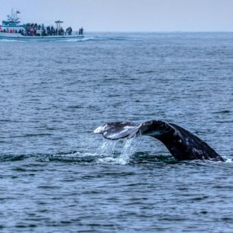Whale Watching by Hornblower Cruises